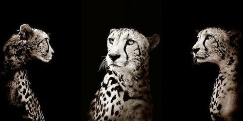 Big Cats by JoeZammit-Lucia.